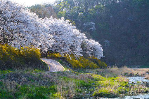 Cherry Blossom, Cherry Tree, Spring, Landscape, Country