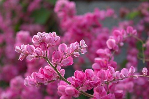 Eastern Redbud, Flowers, Pink Flowers, Tree, Petals