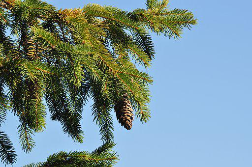 Tree, Spruce, Fir, Pine Cone, Pine, Forest, Wood, Plant