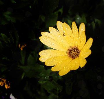 Flower, Petals, Spanish Margriet, Garden, Summer