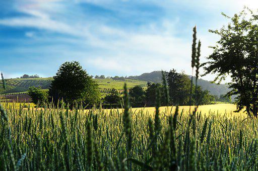 Vineyards, Wheat Field, Barley, Cereals, Farm