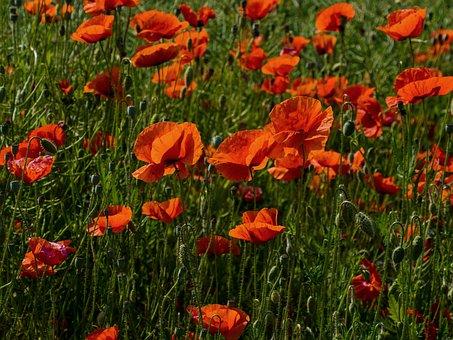 Poppies, Flowers, Field, Garden, Buds, Red Poppies