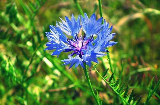 Cornflower, Flower, Blue Flower, Petals, Blue Petals