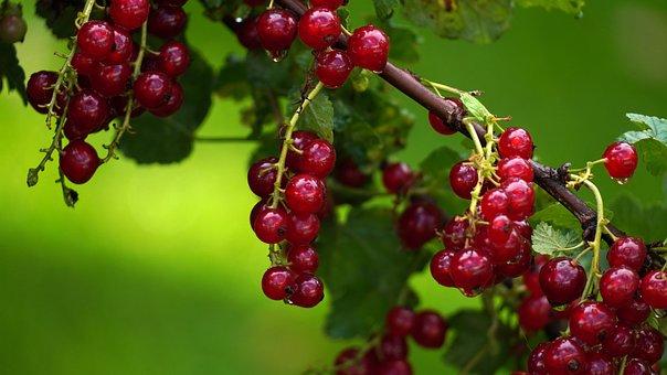 Currants, Fruits, Food, Healthy, Harvest, Bio, Ripe