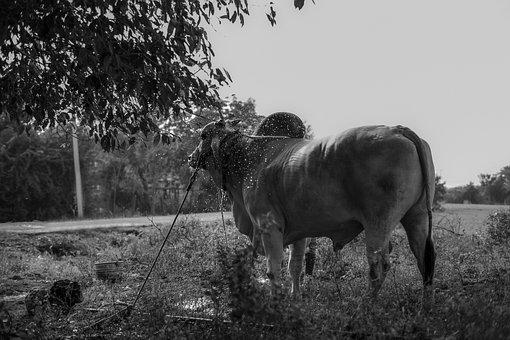 Bull, Cow, Ruminant, Pasture, Meadow, Animal, Farm