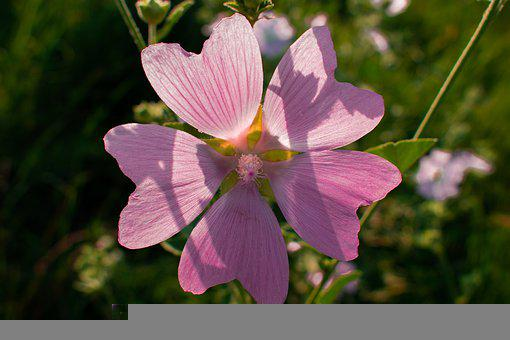 Tree Mallow, Flower, Plant, Garden Tree Mallow, Mallow