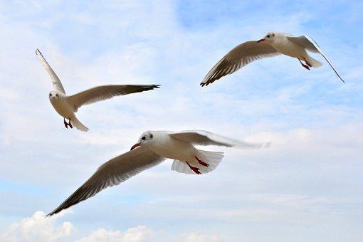 Seagulls, Birds, Sky, Flying, Animals, Gulls, Wildlife