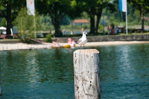 Seagull, Bird, Animal, Lake, Seabird, Perched, Feathers