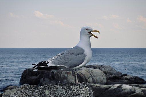 Seagull, Bird, Seabird, Animal, Sea, Beak, Plumage