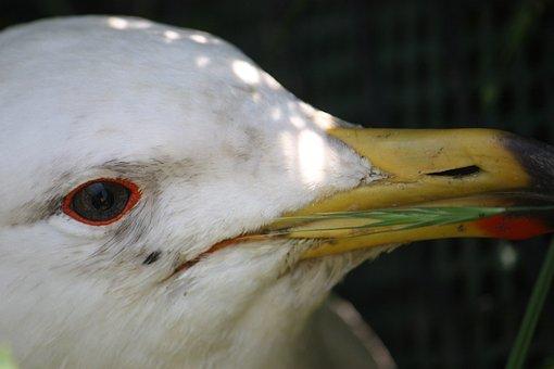 Seagull, Bird, Animal, Seabird, Beak, Bill, Nature