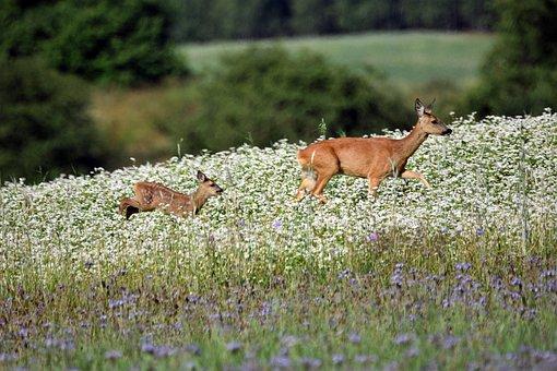 Deer, Animal, Mammal, Flower Meadow, Wildlife