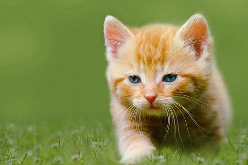 Kitten, Pet, Feline, Animal, Cat, Fur, Kitty, Domestic