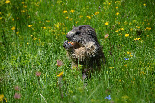 Marmot, Squirrel, Rodent, Foraging, Eating, Wildlife
