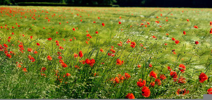Poppies, Flowers, Field Of Poppies, Field, Nature