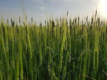 Rye, Cereals, Field, Grains, Spike, Crop, Plants