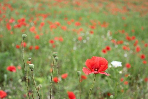Poppies, Flowers, Buds, Garden, Field, Red Poppies