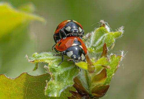 Ladybirds, Insects, Animals, Ladybugs, Mating, Pair