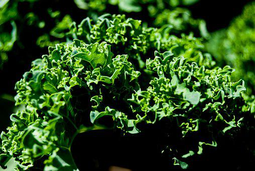 Kale, Leaves, Cabbage, Green, Plant, Food, Garden