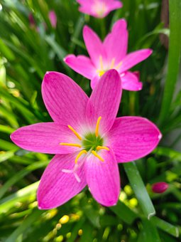 Zephyr Lily, Flower, Plant, Pink Rain Lily, Pink Flower