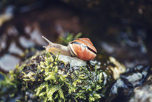 Snail, Shell, Mollusk, Gastropod, Snail Shell, Animal