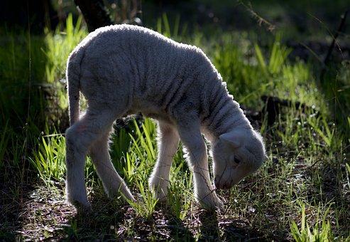 Lamb, Spring, Sheep, Wool, Animal, Cute, Pasture