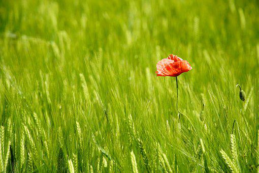 Poppy, Flower, Barley, Field, Crops, Agriculture