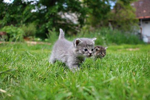 Kittens, Pet, Feline, Animals, Meadow, Cats, Fur, Kitty