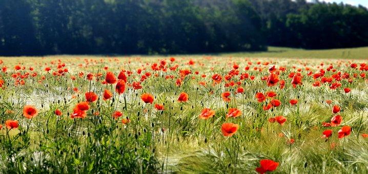 Poppies, Flowers, Field Of Poppies, Buds, Poppy Meadow