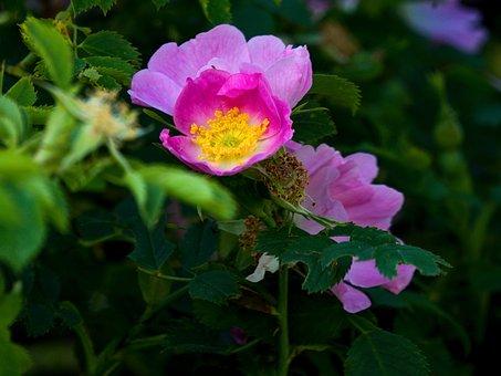 Double Cinnamon Rose, Flowers, Plant, Cinnamon Rose