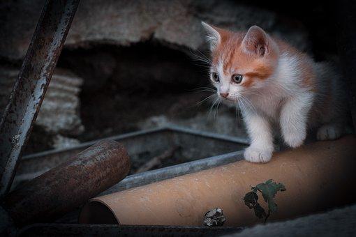 Kitten, Pet, Feline, Animal, Cat, Fur, Whiskers, Kitty