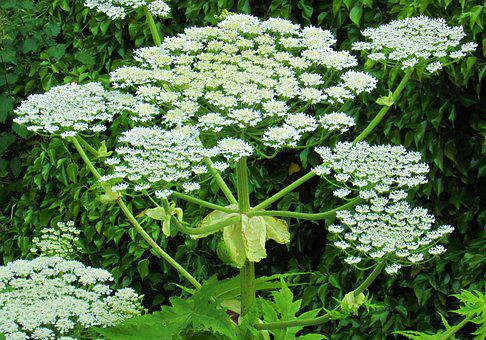 Giant Hogweed, Flowers, Plant, Giant Cow Parsley