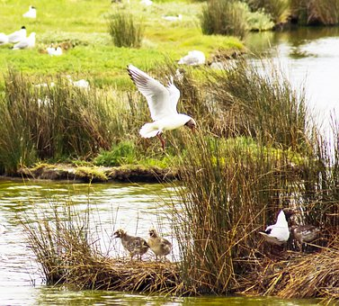 Seagulls, Birds, Flight, Animals, Lake, River, Nature