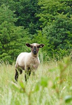 Lamb, Animal, Mammal, Wool, Pasture, Agriculture