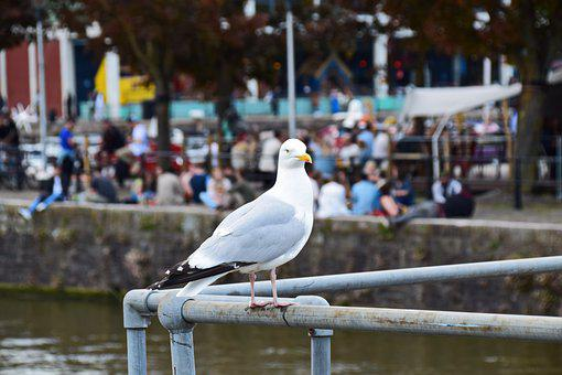 Seagull, Bird, Seabird, Perched, Feathers, Plumage