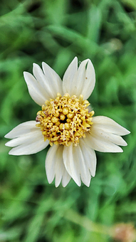 Tridax Daisy, Flower, Plant, Coatbuttons, White Flower