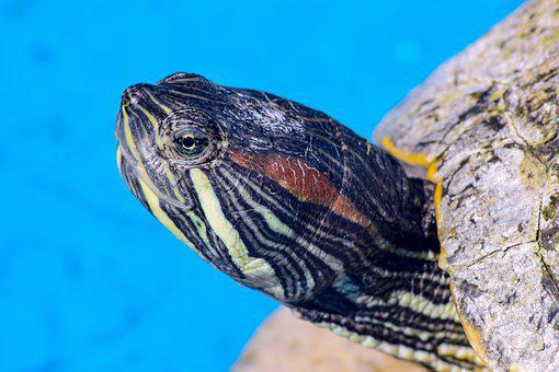 Turtle, Reptile, Shell, Animal, Slow, Aquatic Animal