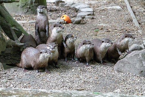 Otters, Animals, Mammals, Raft, Semiaquatic Animals