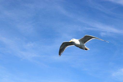 Seagull, Bird, Seabird, Animal, Wings, Feathers, Sky