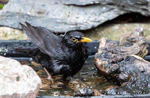 Common Blackbird, Bird, Perched, Animal, Bathing