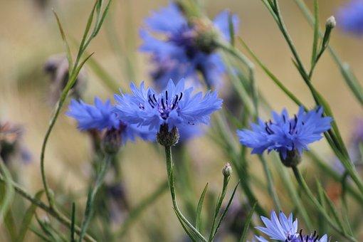 Cornflowers, Flowers, Blue Flowers, Petals, Blue Petals