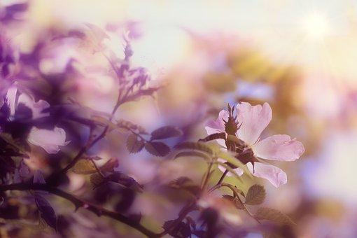 Dog Rose, Flower, Branch, Leaves, Wild Rose, Bloom