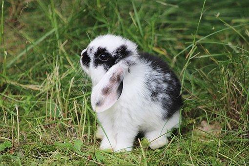 Rabbit, Dwarf Rabbit, Bunny, Pet, Baby Bunny