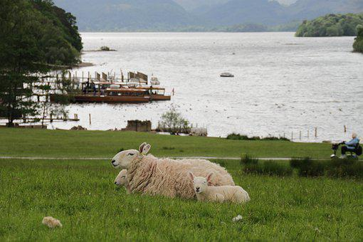 Sheep, Lamb, Animals, Farm Animals, Grass, Livestock