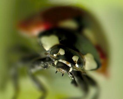 Ladybug, Beetle, Insect, Bug, Nature, Macro, Closeup