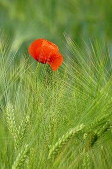Poppy, Cereals, Wheat, Flower, Red Poppy, Red Flower