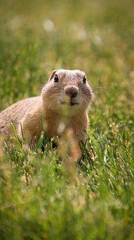 Squirrel, Rodent, Wildlife, Forest, Wilderness, Meadow