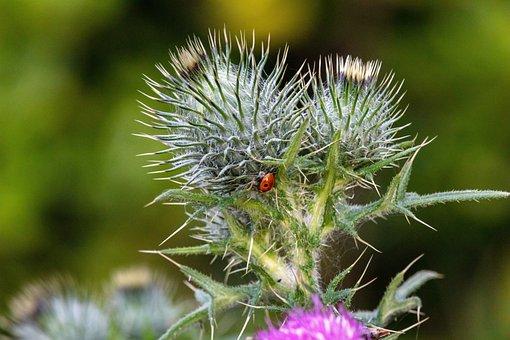 Thistle, Flower, Ladybug, Beetle, Insect, Bug, Prickly