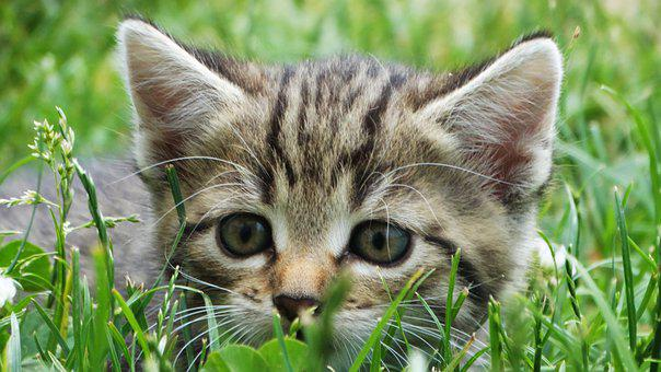 Kitten, Pet, Feline, Animal, Cat, Whiskers, Fur, Kitty