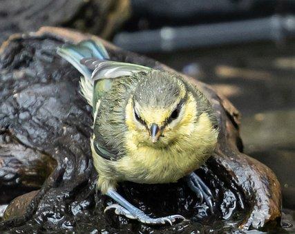 Blue Tit, Bird, Bird Bath, Water, Tit, Plumage