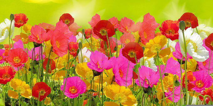 Poppies, Flowers, Garden, Flower Bed, Buds, Red Poppies